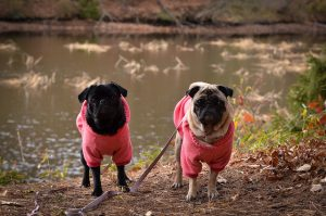 Photo of two pugs in sweaters by a river