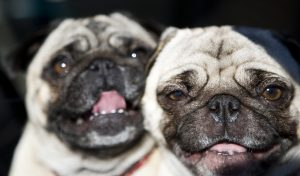 pug photo by Christopher Michel