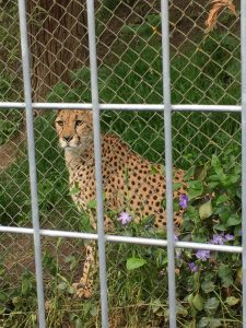 cheetah at Wildlife Safari